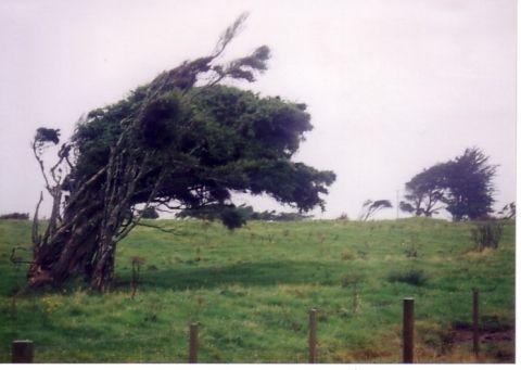 曲がったまま成長した木